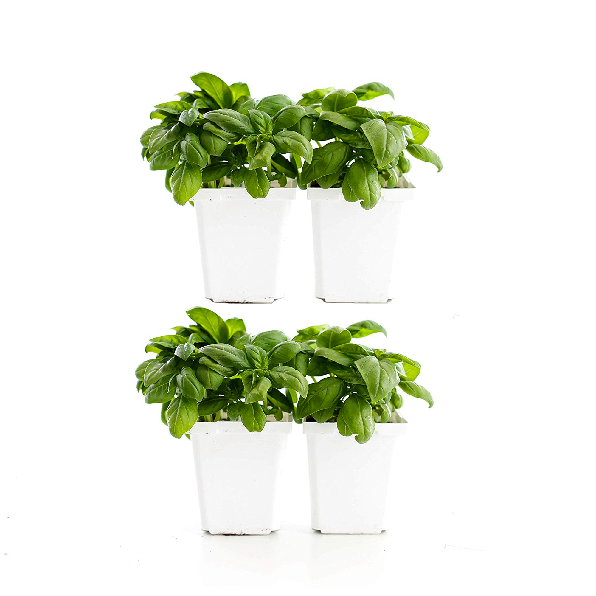 Basil (Pack of 4)