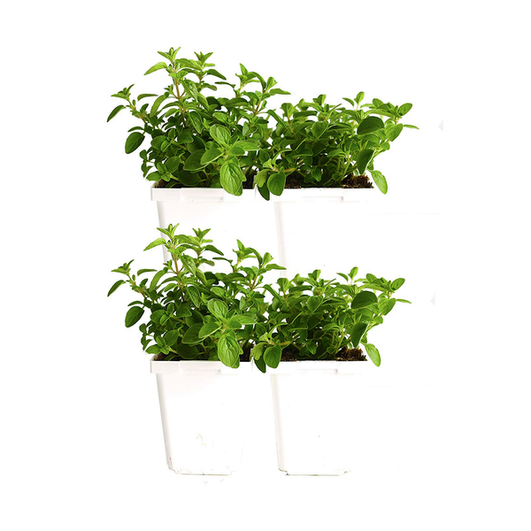Oregano (Pack of 4)