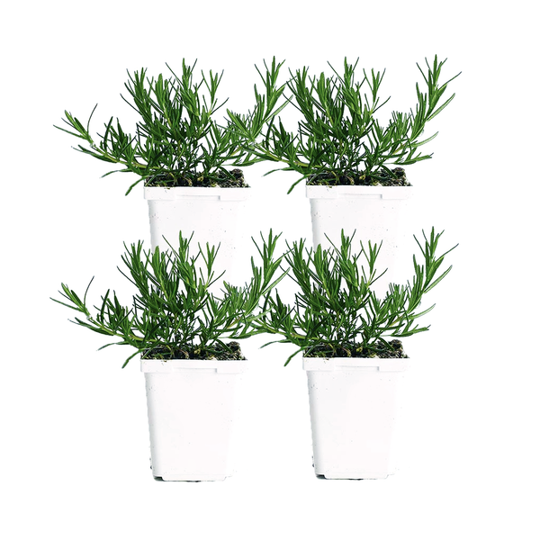 Rosemary (Pack of 4)