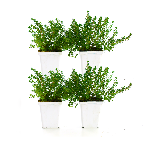 Thyme (Pack of 4)