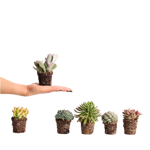 Succulent Mini Pot Mix (Pack of 10)