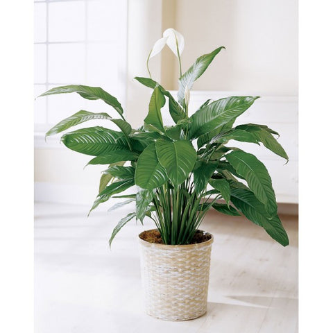 FP4 Peace Lily In Pot