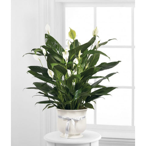 S1 Peace Lily Plant