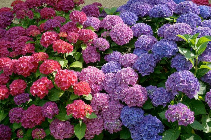 Hydrangea Color Change | From Pink To Blue
