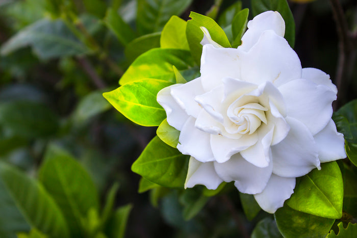 A Complete Guide to Gardenias