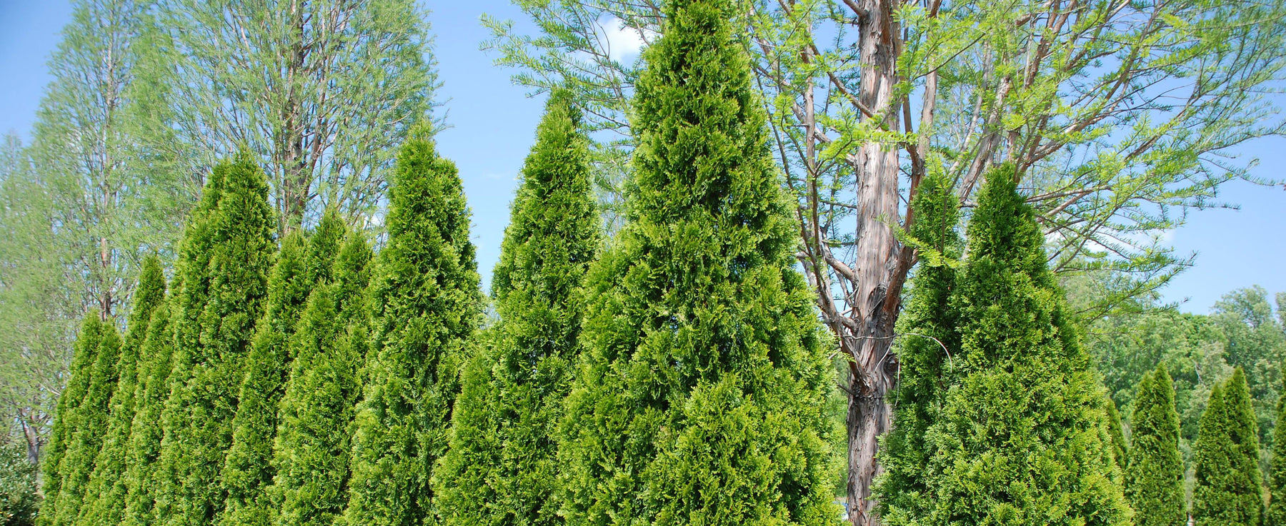 Thuja Green Giant Trees for Privacy