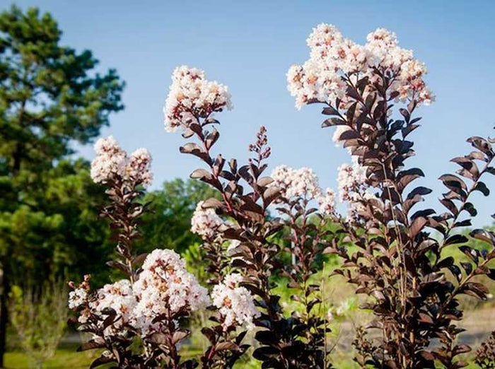Best Flowering Dwarf Trees