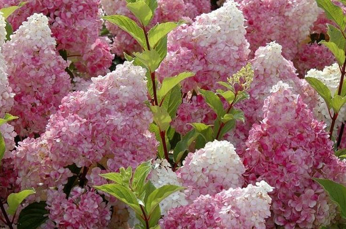 When To Prune Hydrangeas