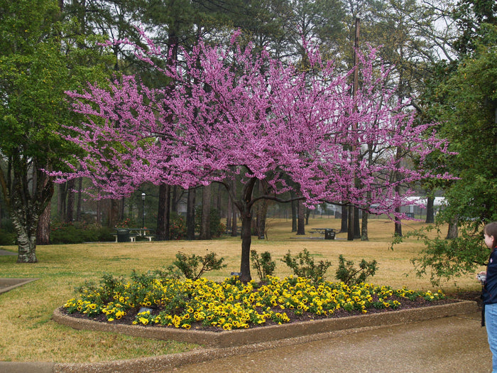 Forest Pansy: The Purple Redbud Tree