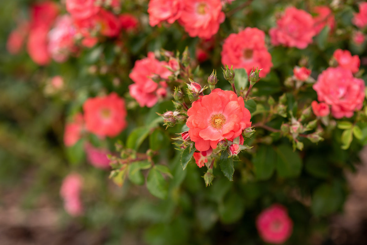 landscaping with drift roses