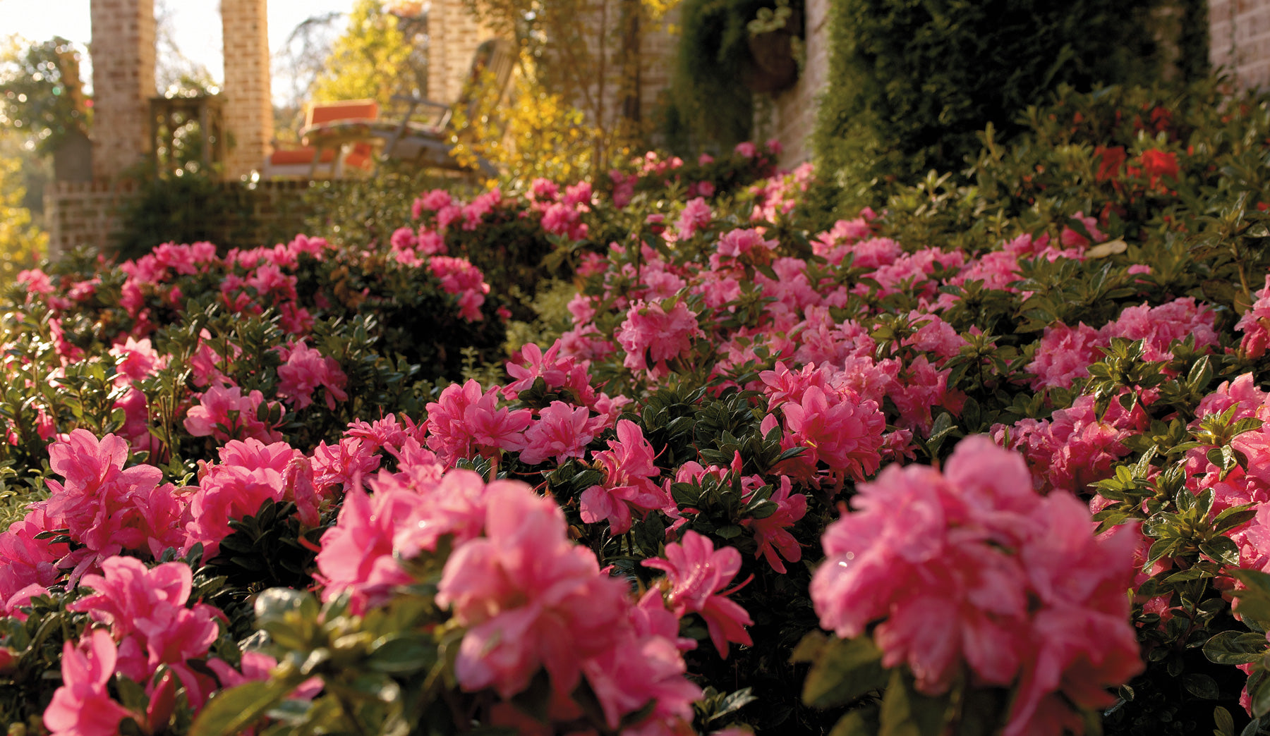 Encore Azaleas: The Collection, Color, Care, and More!