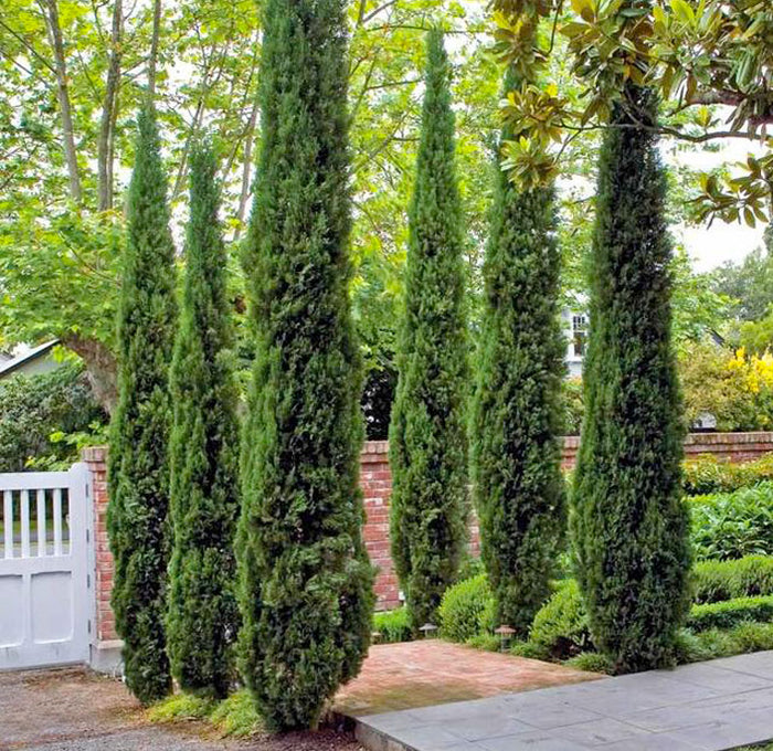 The Italian Cypress | An Elegant Landscape Feature