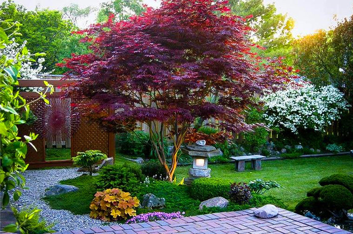 How to Prune Japanese Maples