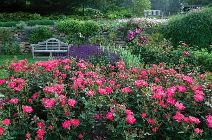Knock Out® Roses: Colors, Variety, and Care