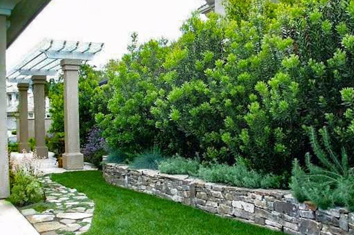Privacy Trees | 15 Deer Resistant Options