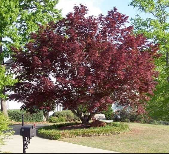 Bloodgood Japanese Maple for Sale | Why You Need One