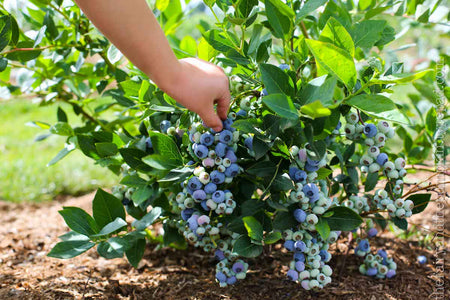 picking blueberries from bush