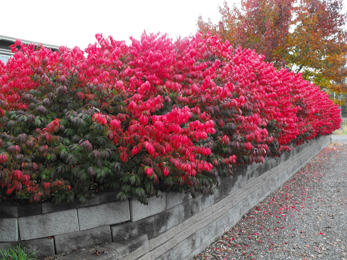 Burning Bush Pruning Care And Planting Tips Plantingtree Com
