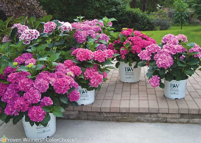 Hydrangea: Care and Color