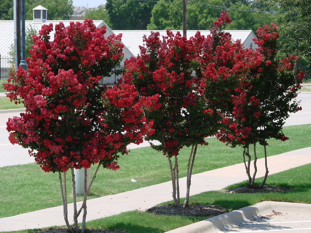 Choosing The Right Crape Myrtle Tree The Planting Tree