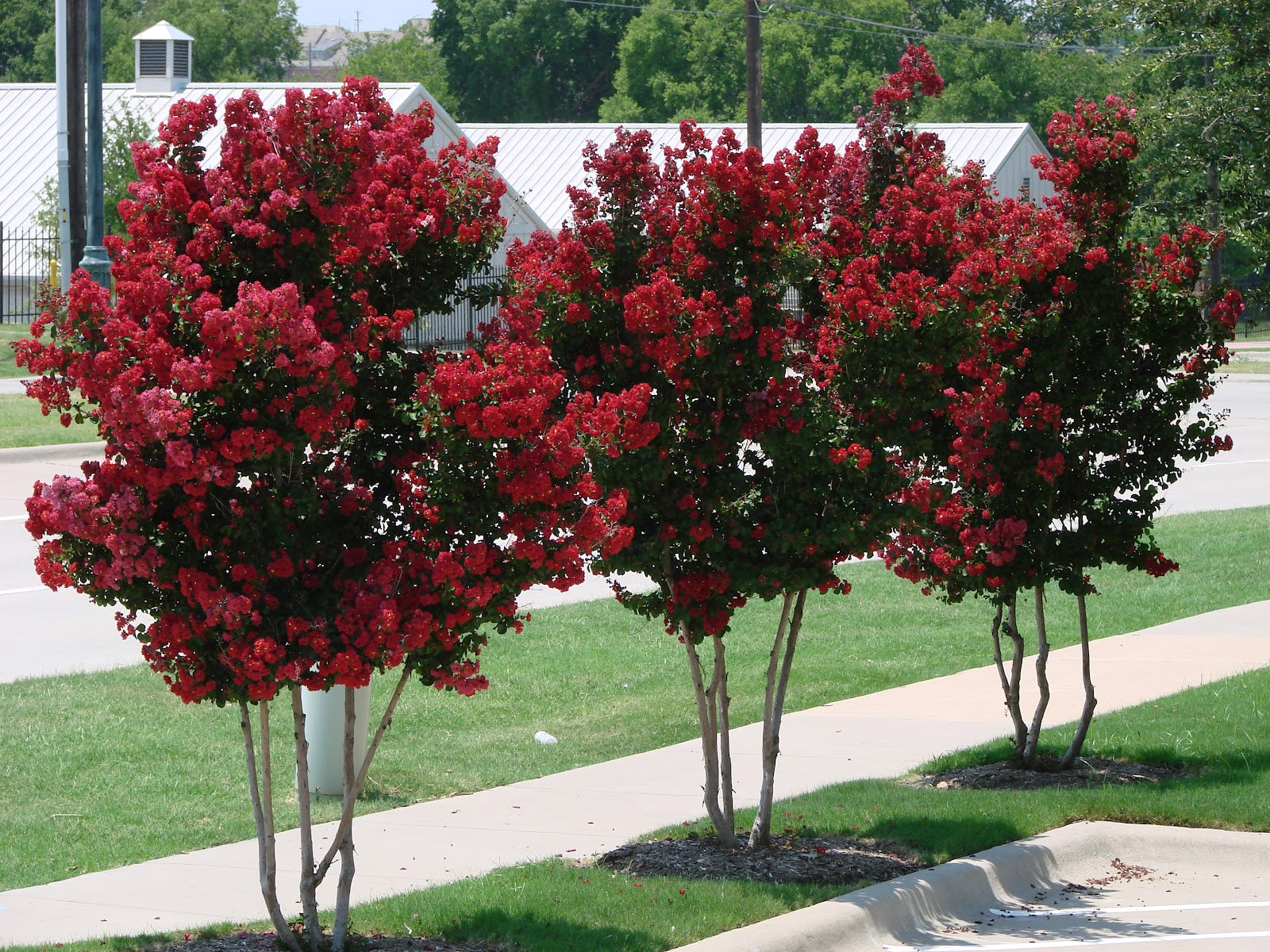 red crape myrtle trees