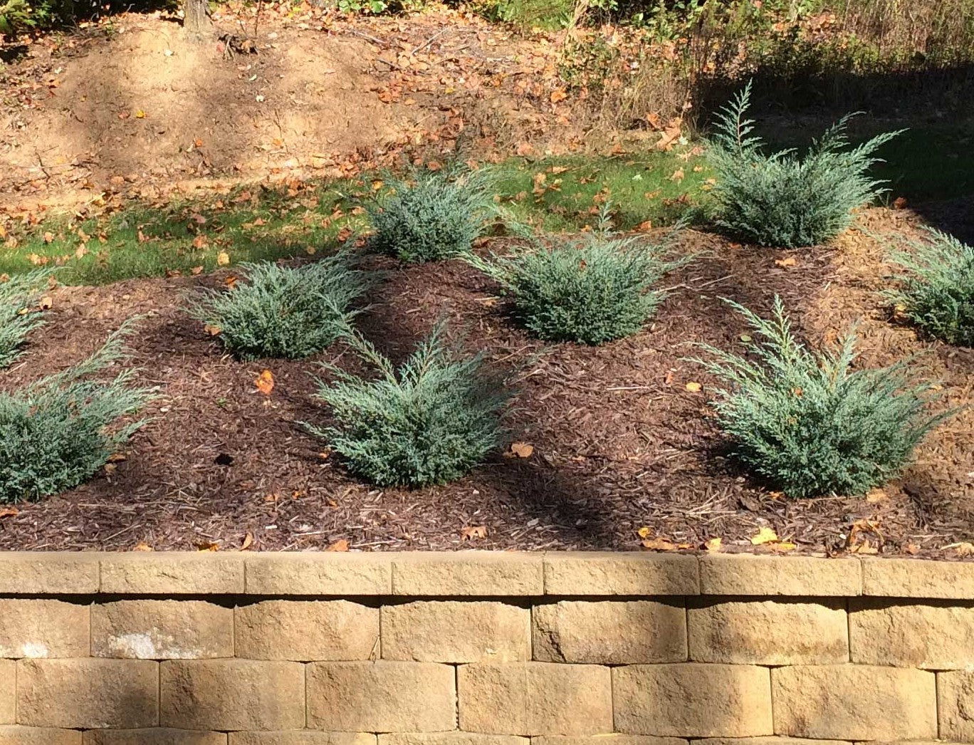Junipers on Hillsides - Ideas and Care
