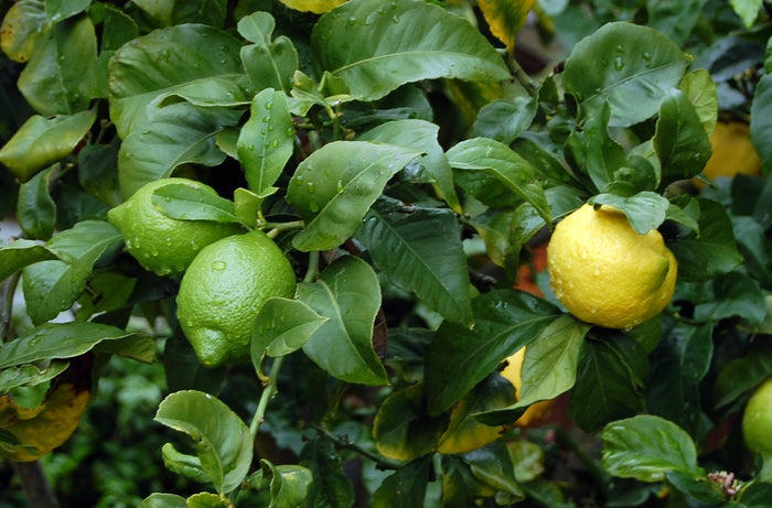 How to Overwinter your Potted Citrus Trees