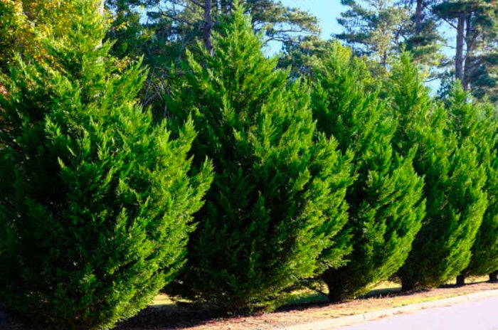 Leyland Cypress for Sale | Perfect for Privacy