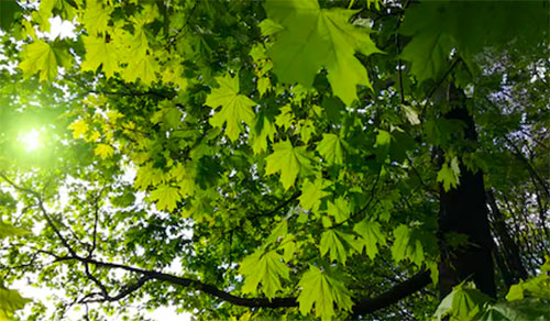 How to Care for Maple Trees