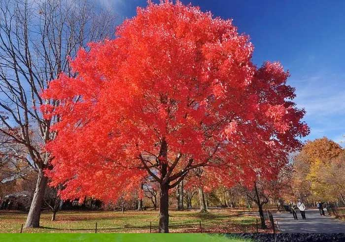 Red Maple Tree for Sale