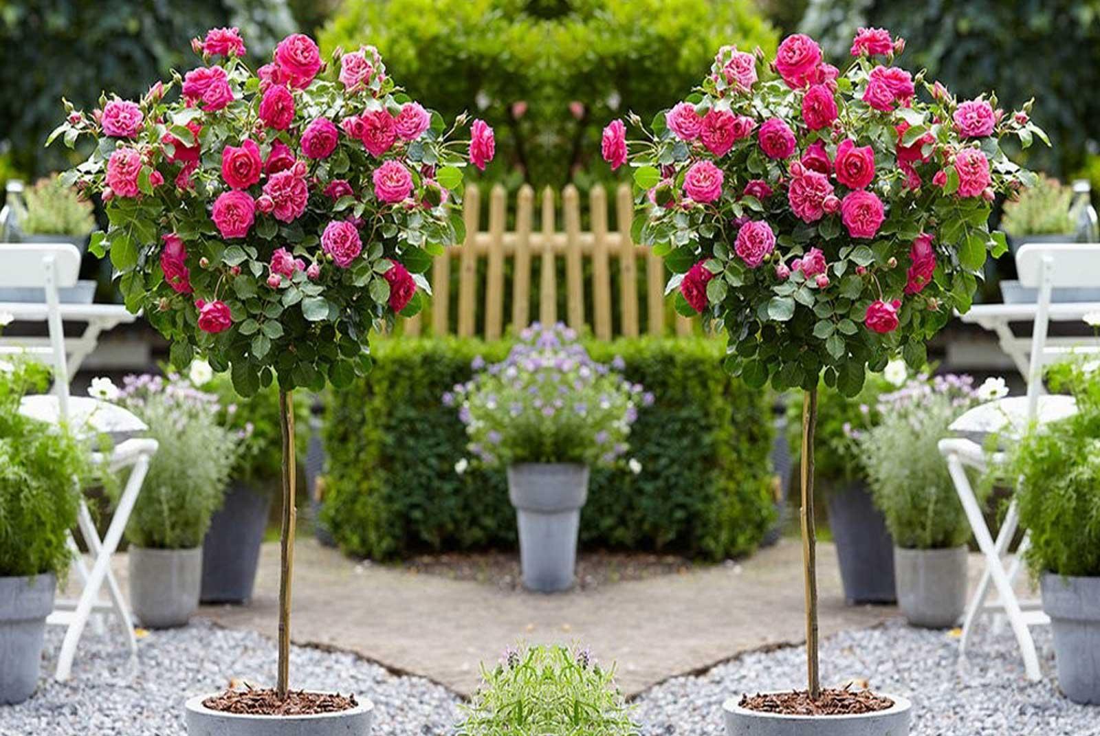 Knock Out Rose Trees: You Need One...or Three!