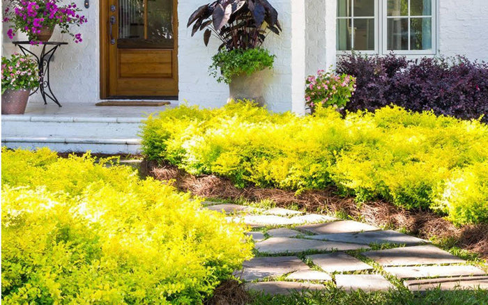 Yellow Shrubs | Landscape Options