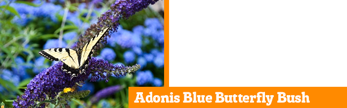 adonis-blue-butterfly-bush