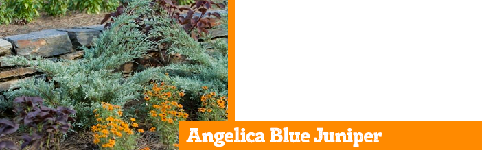 angelica-blue-juniper
