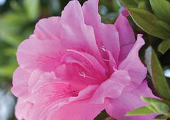 autumn carnation azalea