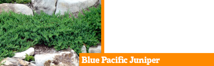 blue-pacific-juniper