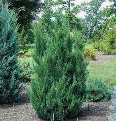 blue point juniper