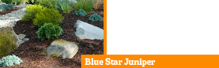 blue-star-juniper