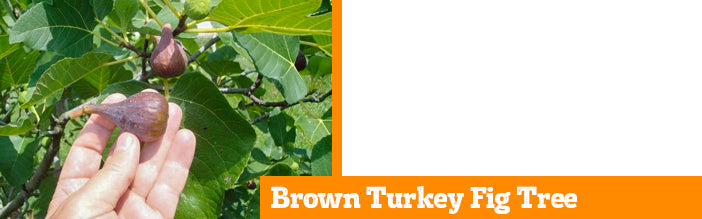 brown-turkey-fig-tree