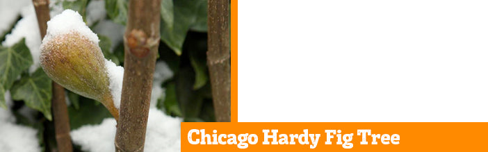 chicago-hardy-fig-tree