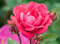 knockout roses - double knockout rose