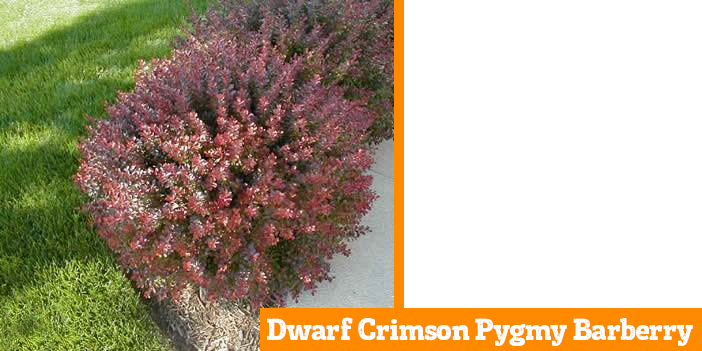 dwarf-crimson-pygmy-barberry