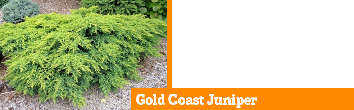 gold-coast-juniper