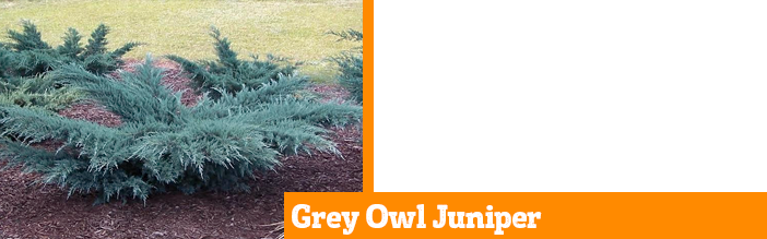 grey-owl-juniper
