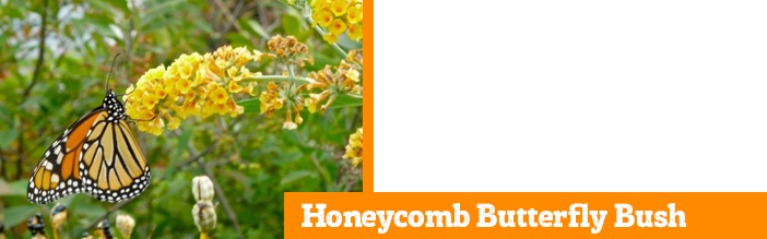 honeycomb-butterfly-bush