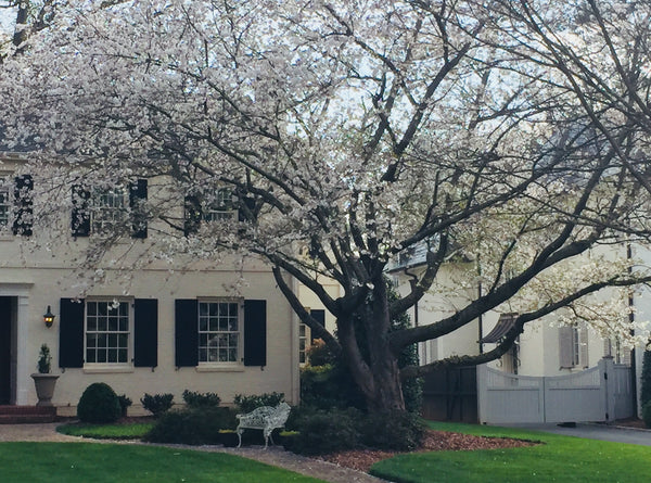 Yoshino Flowering Cherry How To Care And More Plantingtree