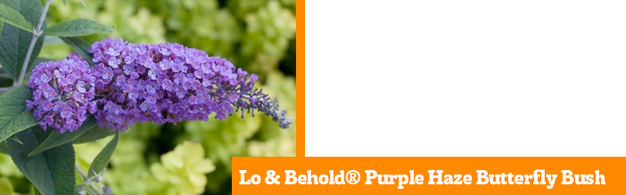 lo-and-behold-purple-haze-butterfly-bush