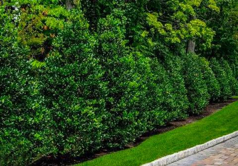 best evergreen trees for landscaping