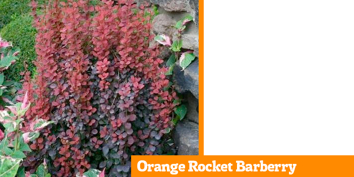 orange-rocket-barberry