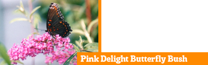 pink-delight-butterfly-bush